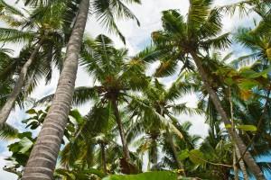 kokosoel_palmen
